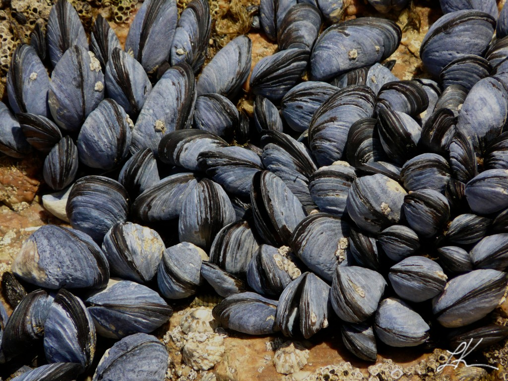Photo: Mussels attached to rock.