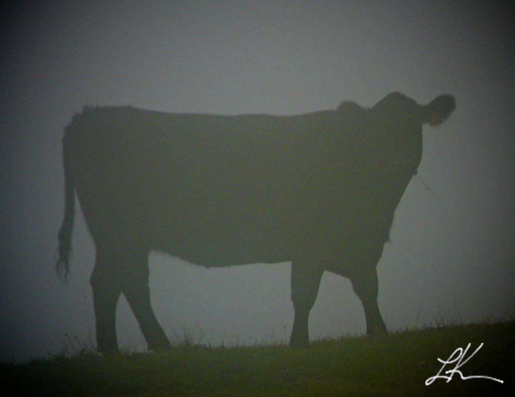Photo of a cow on a foggy day.