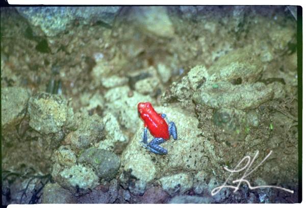 Costa Rican Frog © 2015 Laura K. Kerr, PhD